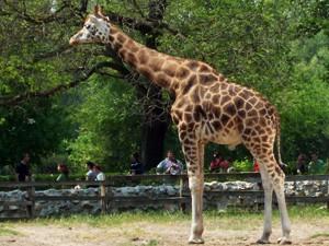 Usvojili žirafu i aligatora iz ZOO vrta