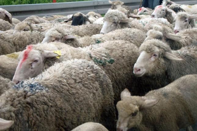 Kod Rančeva pronađene ukradene ovce, priveden kradljivac