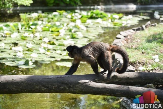 """Nestali majmun vrste """"tamarin"""" juče u zoru anonimno vraćen u Zoo vrt"""