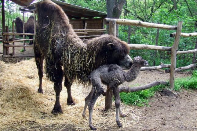 """Mladunče dvogrbe kamile prinova u Zoo vrtu """"Palić"""""""
