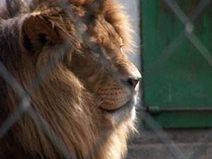 Usvojen lav iz Zološkog vrta