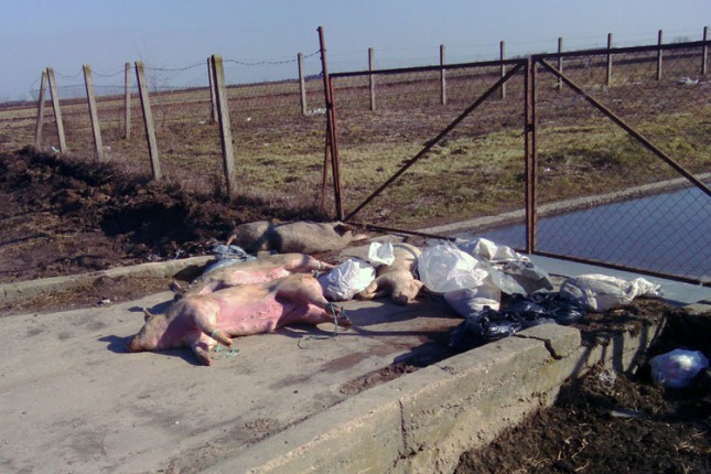 Bajmočani uginule životinje bacaju uz put