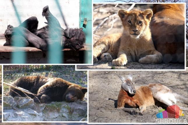 Prinove u ZOO vrtu na Paliću – na svet došli mladunci antilope i dikobraza