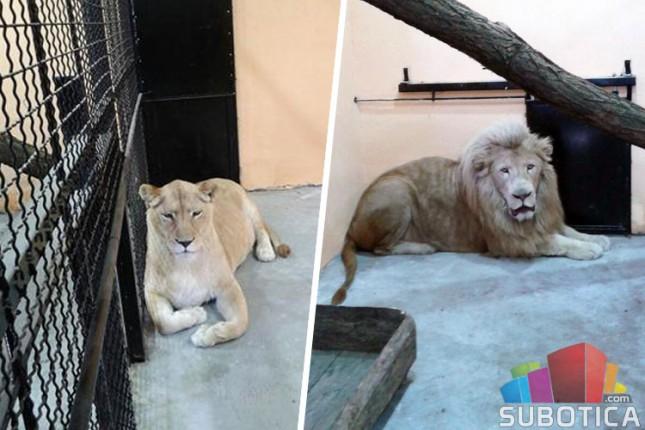 Beli lavovi stigli u ZOO vrt Palić