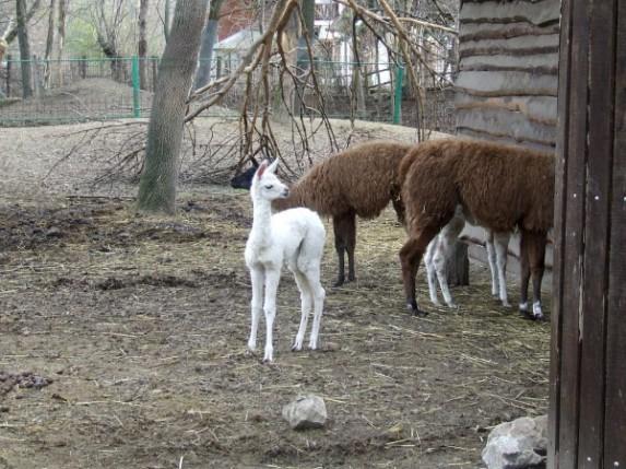 Bela lama novi stanovnik Zološkog vrta
