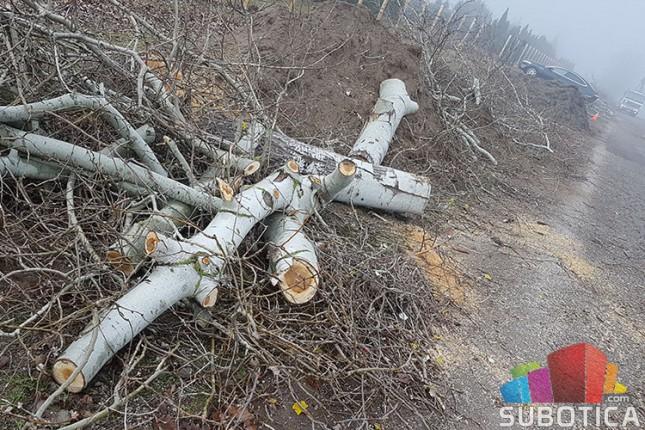 Nelegalno posečen vetrozaštitni pojas na obilaznici oko Palića