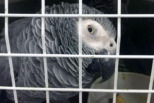 Sprečen nelegalan unos četiri zaštićene vrste papagaja