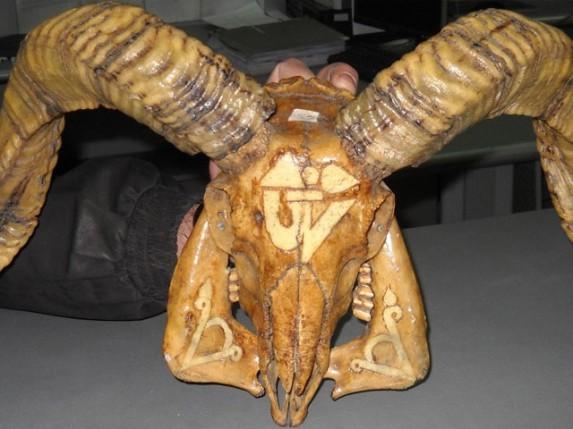 Pokušaj krijumčarenja lobanje i rogova muflona