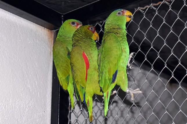 Zaplenjeni zaštićeni papagaji na Bačkim Vinogradima